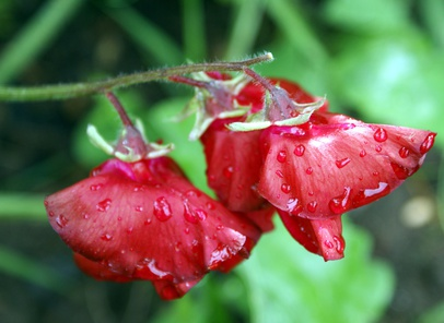 Red Sweet Peas After Rain.
