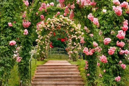 A Beautiful Display Of Rambling Roses