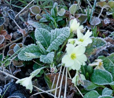 Creamy Primrose Flower in the Frost.