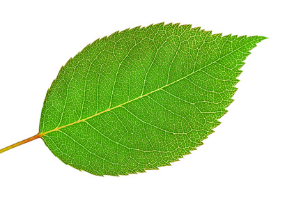 A Rose Leaf Showing its Central Vein with Other Veins Branching Off It.