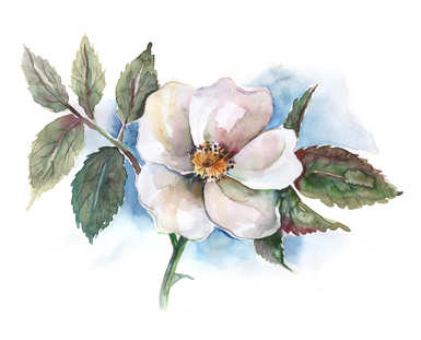 Watercolour of a White Wild Rose Flower.
