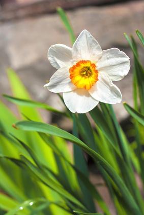 A White Daffodil.