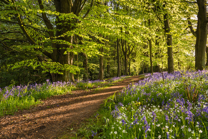 The Bluebell Woods in Spring.