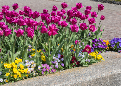 Pink Tulips with Pansies of Every Colour.