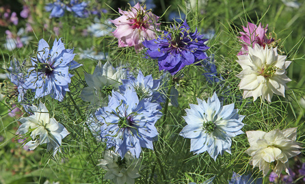 White, pink, blue and dark blue Nigella Flowers.