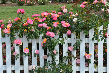 Joseph's Coat Rose Growing Along a White Picket Fence.