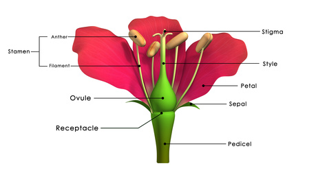 Labelled Diagram of the Female Parts of a flower.