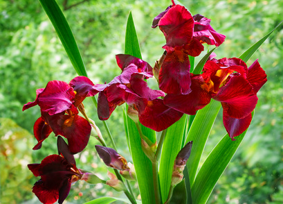 Almost Red Iris Flowers.
