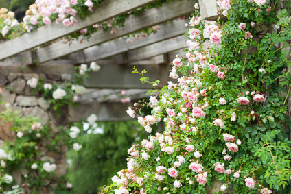 Pale pink rose climbing over Pergola.