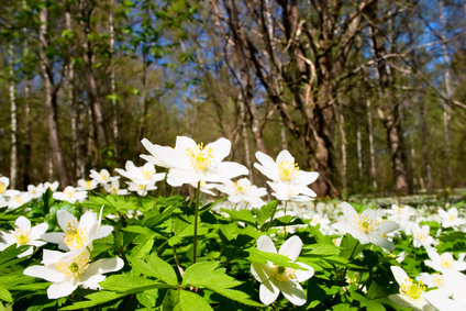 White Japanese Windflowers in the Woods.