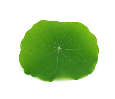 A Single Nasturtium Leaf.