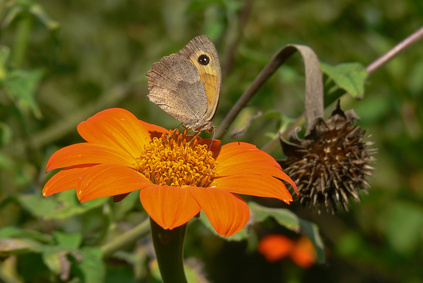Brown Butterfly on Orange Arnica Flower.