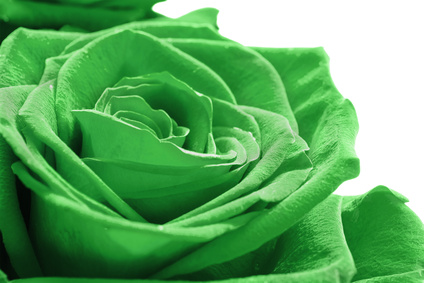 A White Rose Dyed Green.