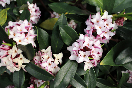 Sweet Daphne Odora in Flower.