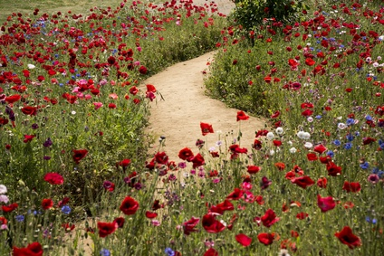 A Winding Path Through The Red Poppies And Wildflowers.