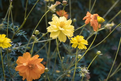 Double Yellow and Orange Cosmos.