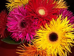 Gorgeous Red, Deep Pink and Yellow spidery mutant Gerberas. Modern.
