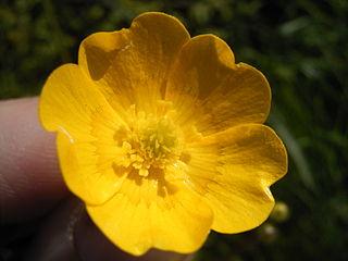 Ranunculus acris. Deep yellow single flower.