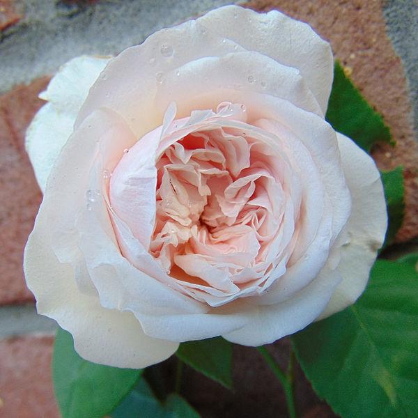 Pale Pink Climbing Rose.