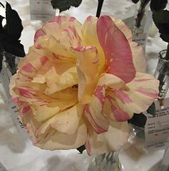 Beautiful two-tone pastel pink and pale yellow Rosa 'Claude Monet'.