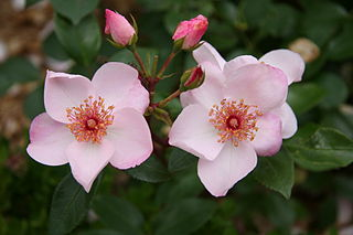 The pale pink floribunda shrub rose Astronomia.