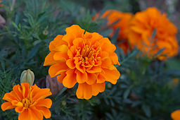 Tagetes Patula. The French Maridold. Annual Plant.