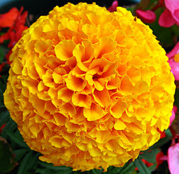 Marigold flowers are true annuals golden balls of sunshine tagetes mightylinksfo