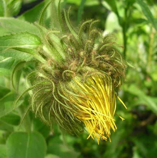 Weird green and yellow daisy flower.