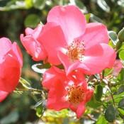 Rosa chinensis.