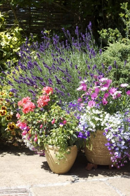 Gorgeous assorted flowers in terracotta patio pots.
