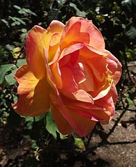 Delightful rich orange red tones of 'Strike It Rich' Rose. A disease resistant rose for sure.