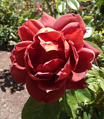 Dark chocolate red Floribunda rose 'Hot Cocoa'.