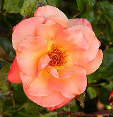 Apricot Nectar Rose