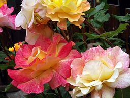 Hybrid Tea Rose 'Rio Samba'.