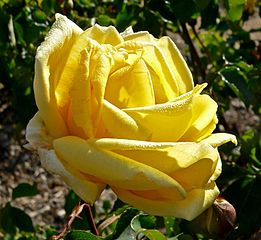 Beautiful yellow hybrid tea rose 'Lowell Thomas'. 1943. France.