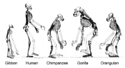 Natural Selection. Skeleton of human alongside apes.