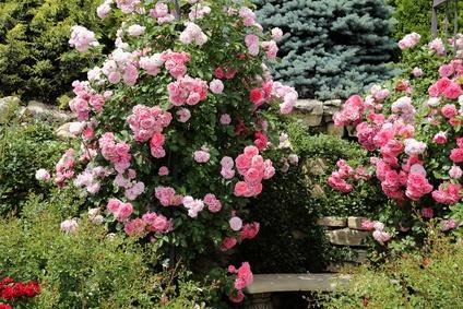 Pink Rose Shrubs Both Ends of Garden Seat.
